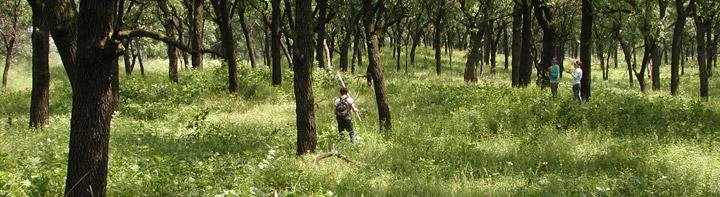 Black oak savanna at Miller Woods.
