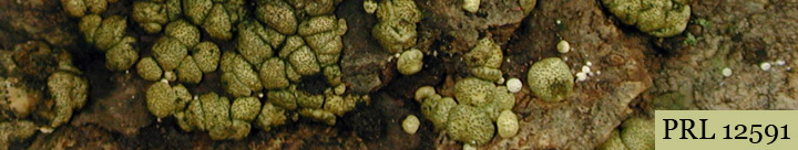 View of yellow lumps called Hypocrea.